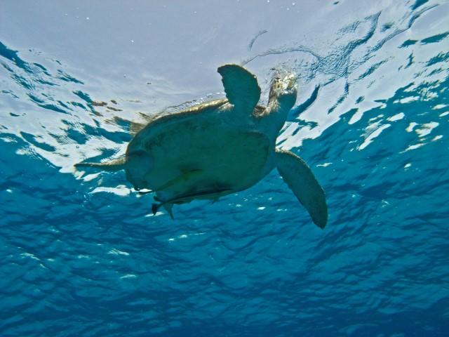 Schildkröte am SUBEX Hausriff Hyatt Regency Sharm El Sheikh Middle Garden, sharm el shekih, tauchen, Rotes Meer, Sinai, Schildkröte