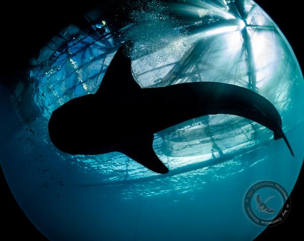 Walhaie und mehr...., Cendrawasih Bay,Indonesien,Walhai,fisheye