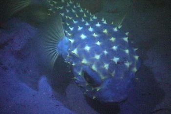 Fluo Dive: a boxfish shines like a diamond