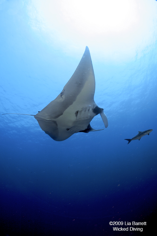 manta, eagle ray, Wicked Diving, Komodo, Labuan Bajo, Indonesien, Allgemein