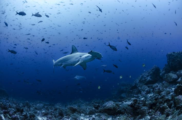 Hammerhai schwimmt gemütlich am Taucher vorbei