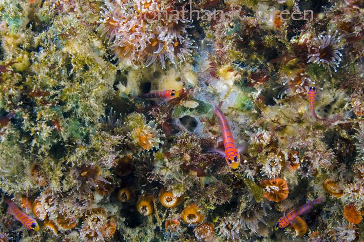 Hell gefärbte Schleimfische