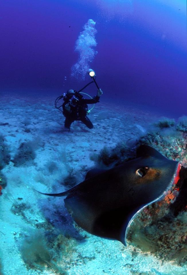 Stechrochen, Stechrochen, Orso Diving Club (Sardinien), Italien, Sardinien