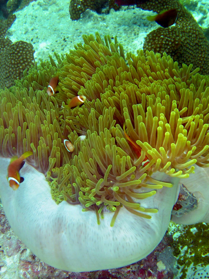 Makunudu, Makunudu,Malediven,Anemonen