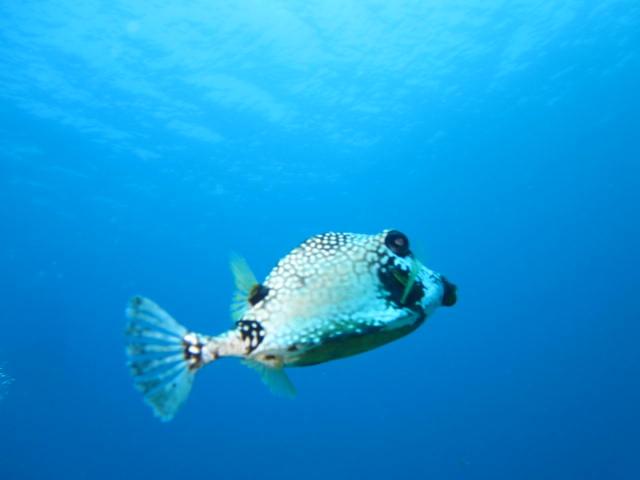 Kofferfisch, Reef Oasis Viva Dominican, Bayahibe, Dominikanische Republik