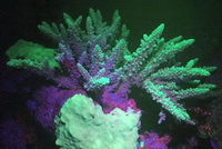 Fluo Diving: coral reef with mystifying glow of stunning colours
