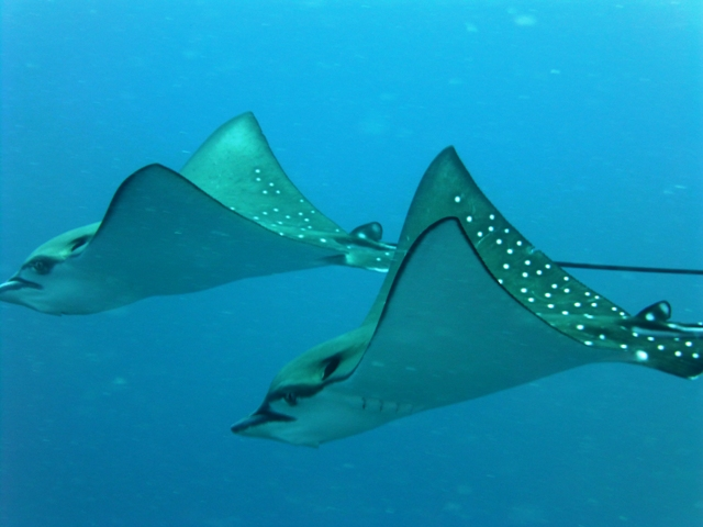 Eagle rays at Ari Beach