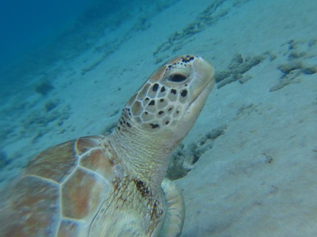 Schildkröte, Curacao Divers (Sun Reef Village), Sint Michiel, Niederländische Antillen, Curaçao