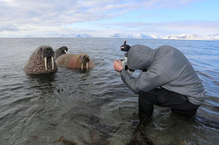 Tauchsafari Svalbard, Svalbard (Spitzbergen),Norwegen,Bitte recht freundlich: Walrösser ´stellen sich in Pose´
