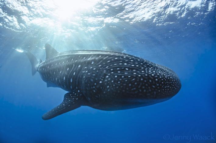 Walhai schwimmt nahe der Wasseroberfläche in Darwin Arch