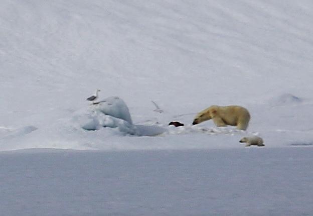 Tauchsafari Svalbard, Svalbard (Spitzbergen),Norwegen,Eisbärmutter mit Jungtier vor frischer Beute