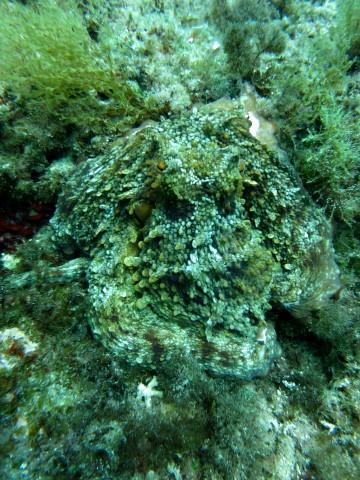 Neues vom großen Riff. - Divecenter Mallorca, Mallorca Grosses Riff,Spanien