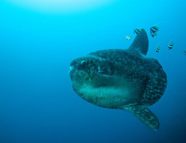 Mondfisch, Mondfisch, Mola Mola, Ceningan Divers, Nusa Ceningan, Indonesien, Bali