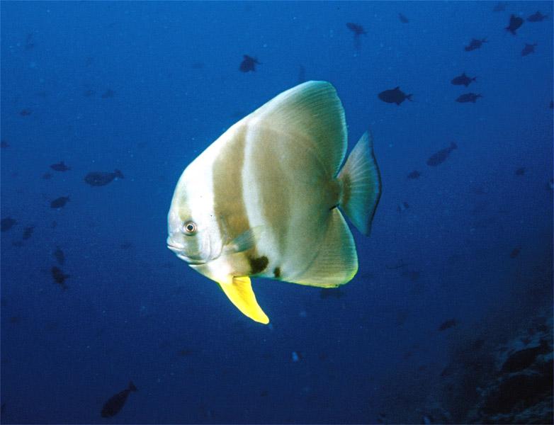 Blue Hole und New Drop Off, Blue Hole und New Drop Off,Palau,fledermausfisch,platax