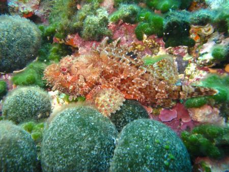 Hippocampe,La Seyne-sur-Mer / Plage de Fabregas (nähe Toulon),Frankreich