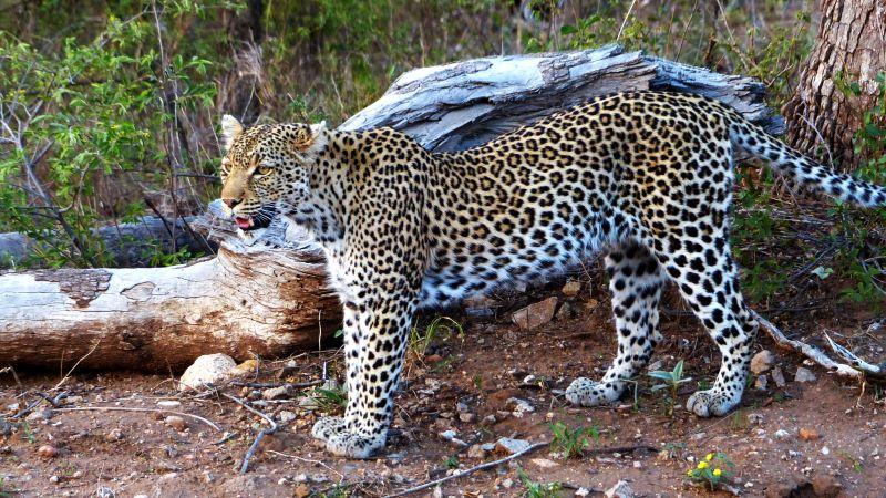 Simbavati Hilltop Lodge, Südafrika, Leopard