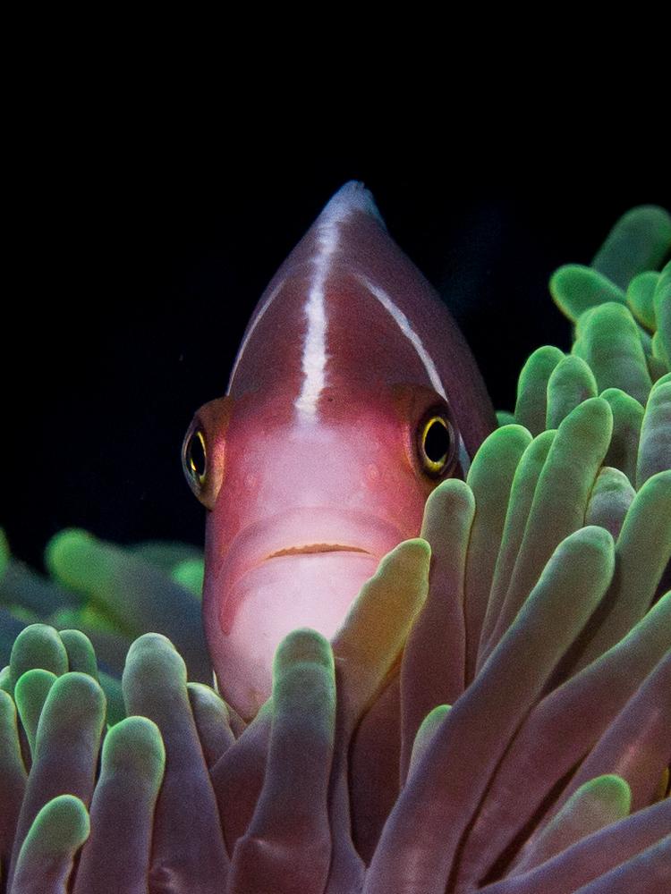 Halmahera-Tauchsafari, Liburan Halmahera-Safari,Indonesien,Anemonenfisch