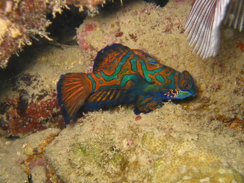 Mandarinfisch, Sam`s Makro Wall, Palau