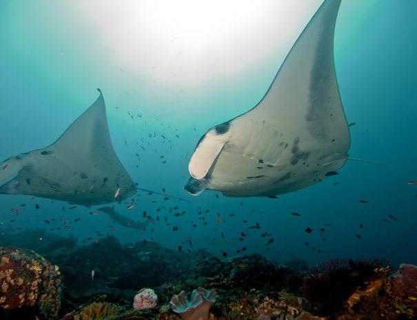 Mantas, Manta, Ceningan Divers, Nusa Ceningan, Indonesien, Bali