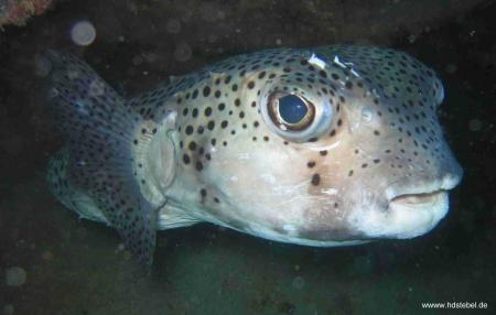 Stingray Dive,Sal,Kap Verde