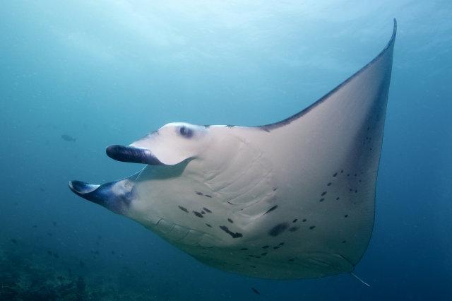 Unterwasser mit ScubaCaribe, Manta, ScubaCaribe Guanacaste - RIU Hotels, Costa Rica