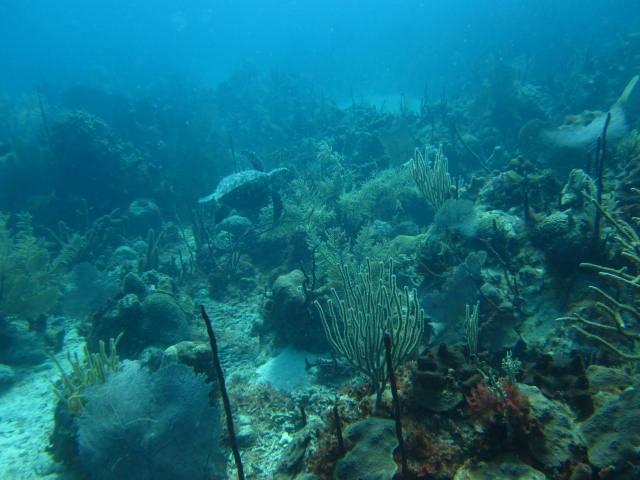 Schildkröte, Reef Oasis Viva Dominican, Bayahibe, Dominikanische Republik