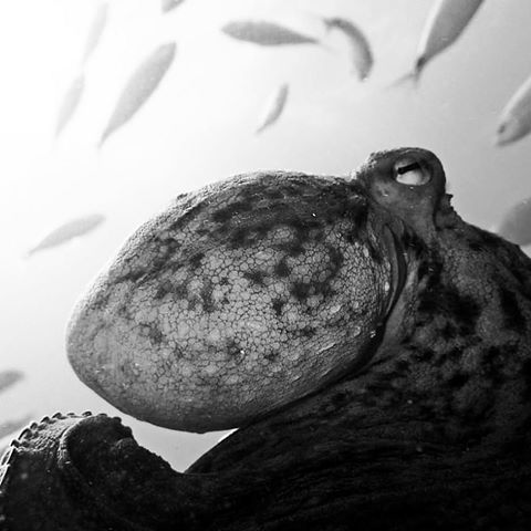 Octo ;), Side Azura Dive Center, Side-Sorgun, Türkei