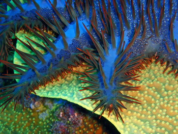 Crown-of-thorns starfish 'kills' corals - © Juerg Wuelser