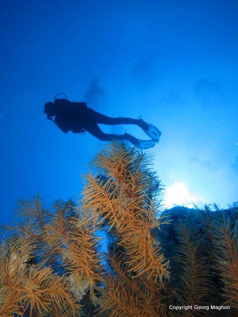 Schwarze Koralle, Schwarze Koralle, Hausriff Tauchpartner, Puerto Naos, Spanien, Kanarische Inseln