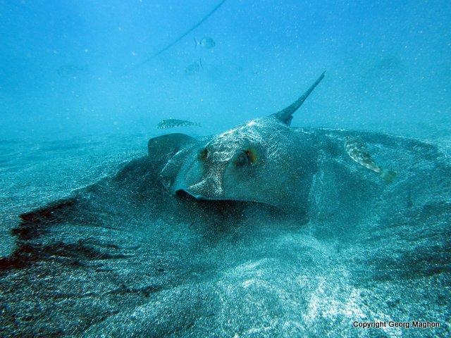 Stachelrochen, Hausriff Tauchpartner, Puerto Naos, Spanien, Kanarische Inseln