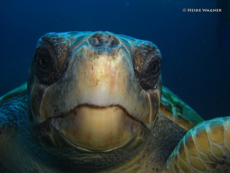 Schildkröte in Las Cabras, La Palma