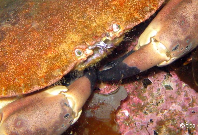 Lofoten/Ballstad, Lofoten/Ballstad,Norwegen,krabbe,mund,scheren,fressen