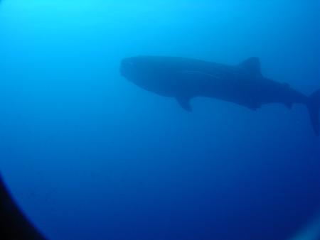MS Witte Bank (Dive Safari),Kap Verde