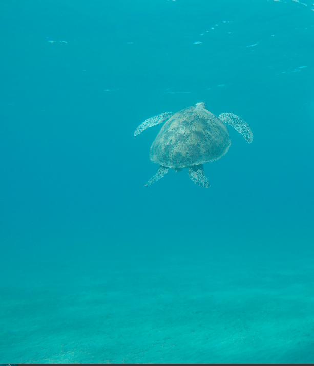 Schildkröte, Schildkröte, Turtle, Blue Ocean Diving Center PADI, SSI, CMAS und IAC, Ägypten, Marsa Alam und südlich