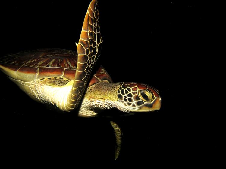 Meeresschildkröte, Celebes Divers Sulawesi - Onong Resort, Mapia Resort, Kuda Laut Boutique Dive Resort, Indonesien, Sulawesi