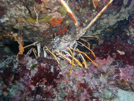 Lobsterreef,Prvic,Kroatien