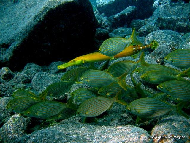 Trompetenfisch mit Goldstriemen