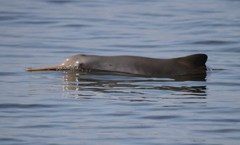 Endangered species: The La Plata dolphin. (© Univille - Beatriz Schulze)