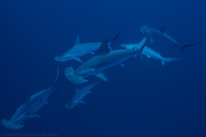 Hammerhaie am Daedalus