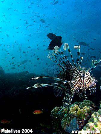 Stingray Tauchsafari, Malediven allgemein,Malediven