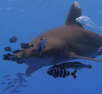 Longimanus, Red Sea - © Lutz Hoffmann