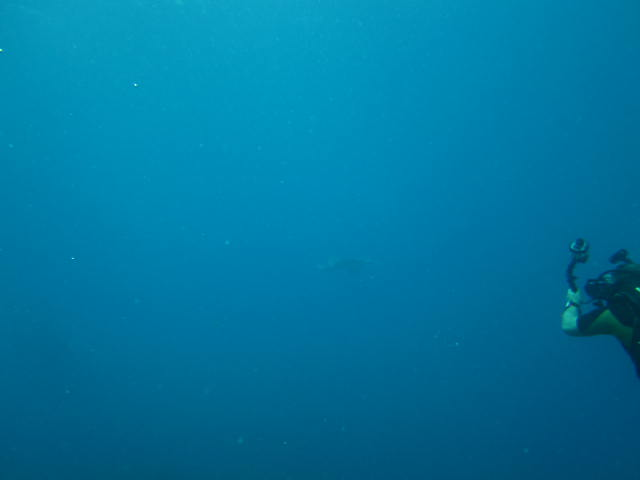 Adlerrochen im Freiwasser, Reef Oasis Viva Dominican, Bayahibe, Dominikanische Republik