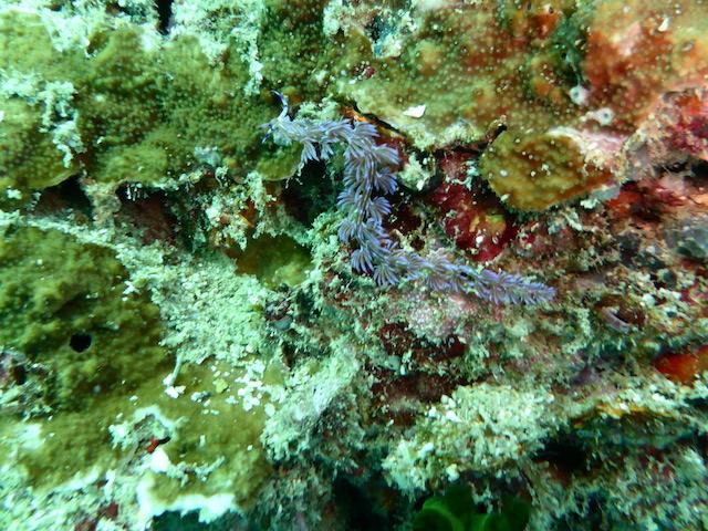 Nacktschnecke, Nacktschnecke, Shark Point / Anemon Reef, Thailand