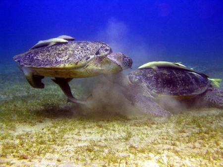 Orca Dive Club,Abu Dabab,Marsa Alam und südlich,Ägypten