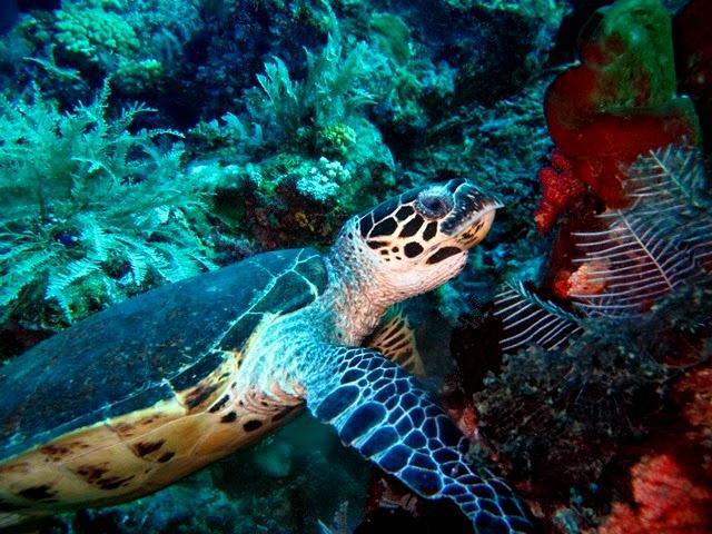 Schildkröte, Wicked Diving, Komodo, Labuan Bajo, Indonesien, Allgemein