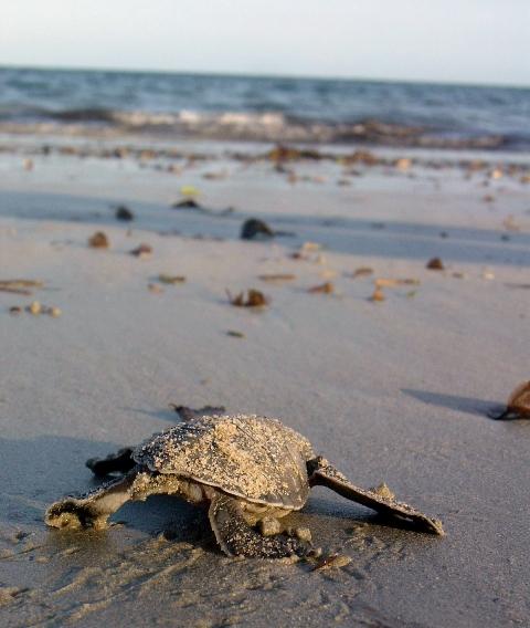 Geheimnis Maziwe -  Tolle Korallenriffe und Schildkröten, Maziwe Island - Nationalpark,Tansania
