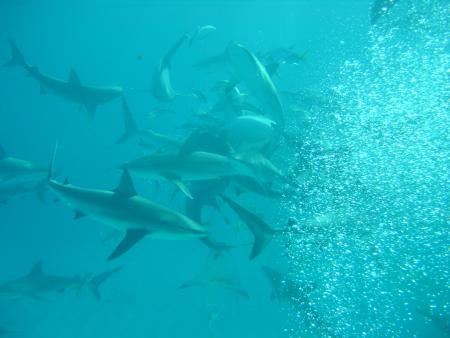 Sharkschool auf Walker´s Cay,Bahamas