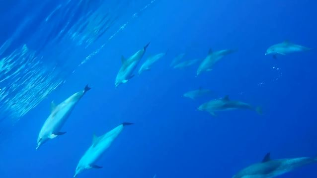 Dolphin Tour, Madeira Divepoint, Funchal, Madeira, Portugal, Madeira