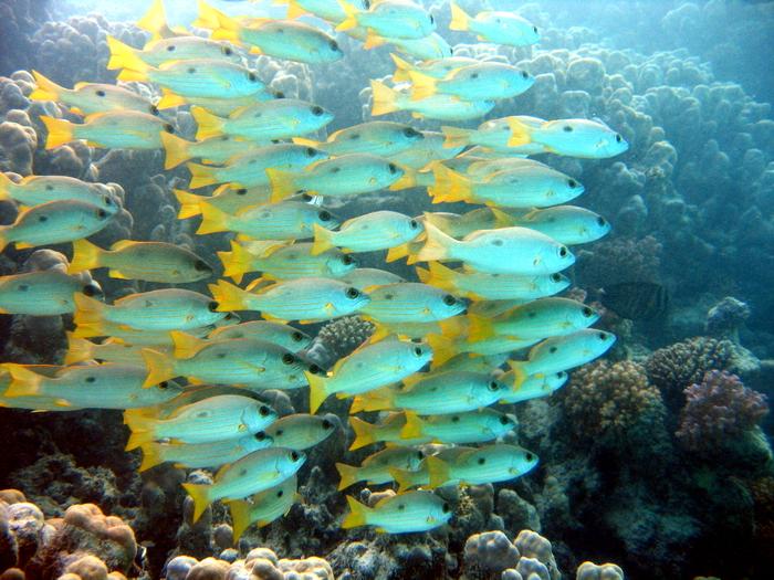 Mehr Bilder auf:   http://www.walters-tauchplatz.de, Hausriff Marsa Shagra,Ägypten