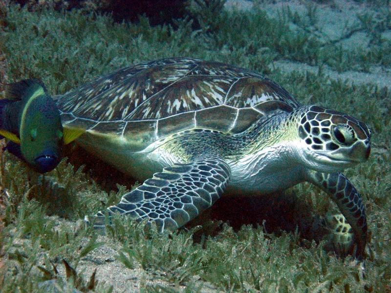 Schildkröte, Golden Blocks,Dahab,Ägypten